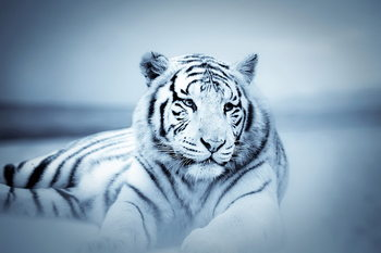 Registro de Habilidades Tiger-white-tiger-i25649