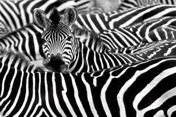Glasschilderij Zebra - Many Zebras