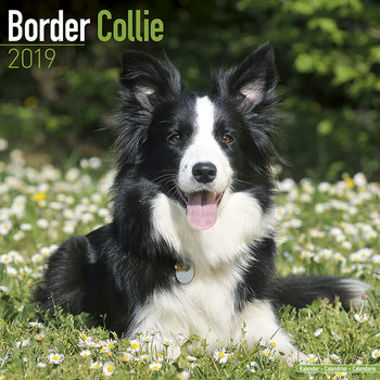 Border Collie Kalendarz 2019