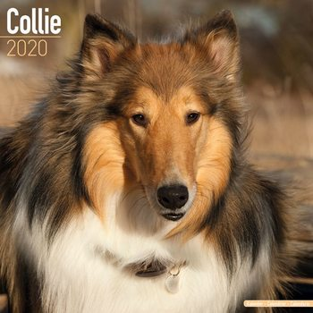 Collie Kalendarz 2020