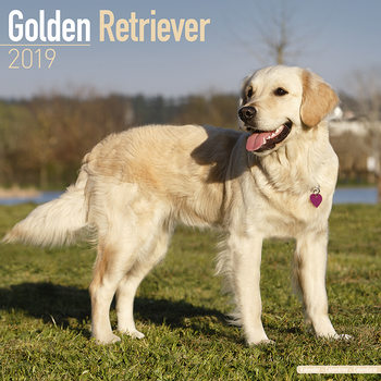 Golden Retriever Kalendarz 2019