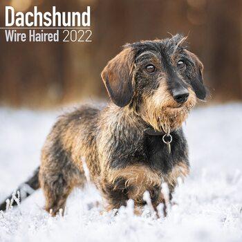 Wirehaired Dachshund Kalendarz 2022