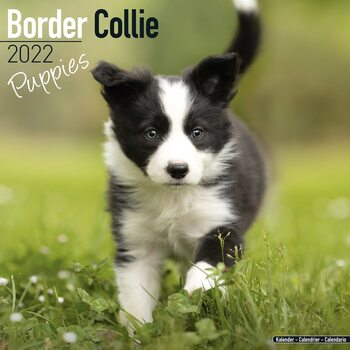 Border Collie - Pups Kalender 2022