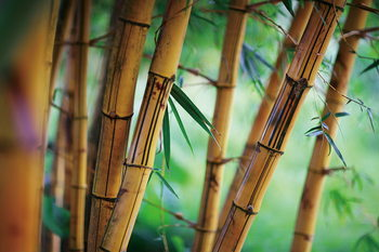Kunst op glas Bamboo - Fresh Nature