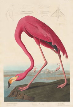 American Flamingo, 1838 Kunsttrykk