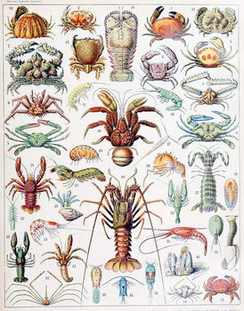 Illustration of Crustaceans c.1923 Kunsttrykk