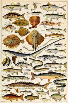 Illustration of Edible Fish, c.1923 Kunsttrykk