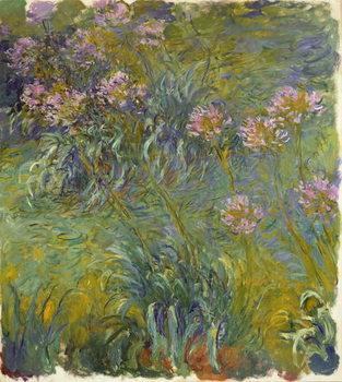 Agapanthus, 1914-26 Kunsttrykk