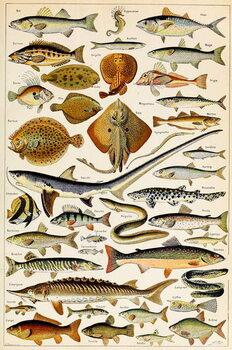 Illustration of Edible Fish, c.1923 Kunsttrykk