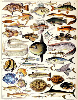Illustration of Marine Fish c.1923 Kunsttrykk