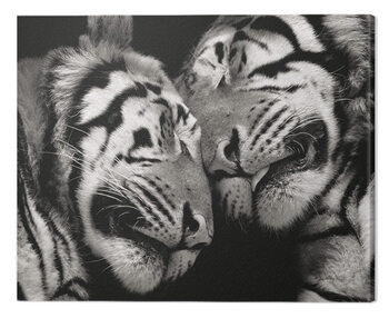 Billede på lærred Marina Cano - Sleeping Tigers