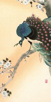 Billede på lærred Ohara Koson - Peacock on a Cherry Blossom Tree