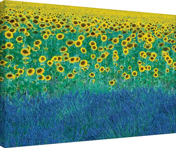 David Clapp - Sunflowers in Provence, France Billede på lærred