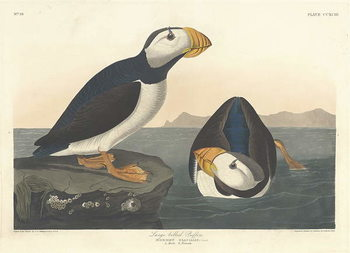 Large-billed Puffin, 1836 Festmény reprodukció