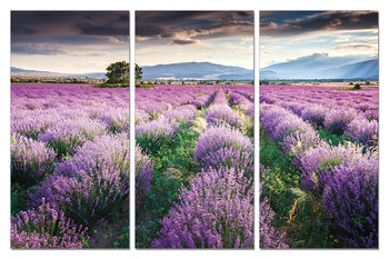 Mодерна картина Lavender - Field in Blossom