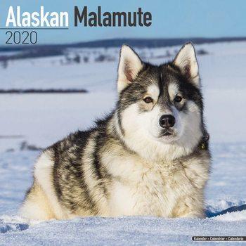 Alaskan Malamute naptár 2020