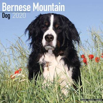 Bernese Mountain Dog naptár 2020