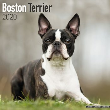 Boston Terrier naptár 2020