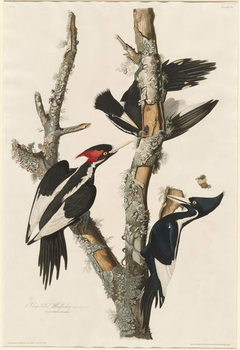 Obraz na plátně Ivory-billed Woodpecker, 1829