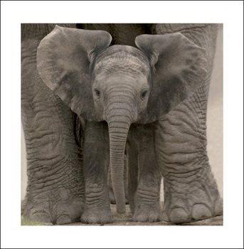 Obrazová reprodukce  Slon - Baby