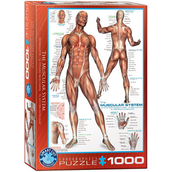 Puzzle The Muscular System