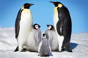 Penguins - плакат (poster)
