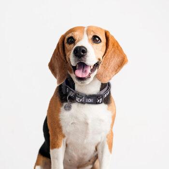 Pettorine per Cani ACDC