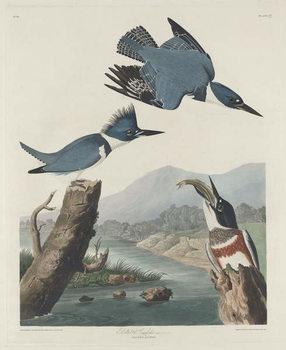 Cuadros en Lienzo Belted Kingsfisher, 1830