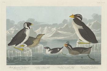 Cuadros en Lienzo Black-throated Guillemot, Nobbed-billed Auk, Curled-Crested Auk and Horned-billed Guillemot1838