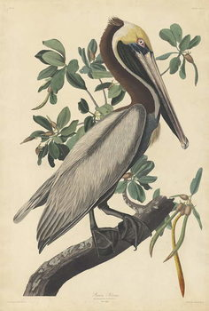 Cuadros en Lienzo Brown Pelican, 1835