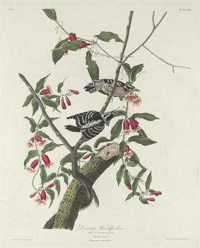 Cuadros en Lienzo Downy Woodpecker, 1831