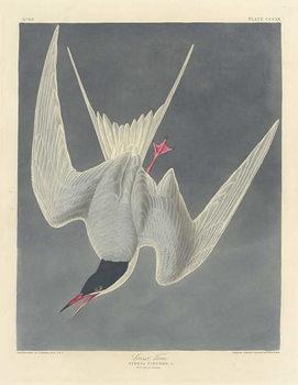 Cuadros en Lienzo Great Tern, 1836