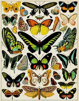Cuadros en Lienzo Illustration of Butterflies and moths c.1923