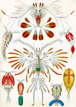 Cuadros en Lienzo Illustration of  Copepods,  c.1909