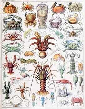 Cuadros en Lienzo Illustration of Crustaceans c.1923