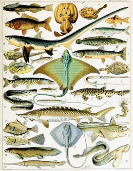 Cuadros en Lienzo Illustration of  Fish  c.1923