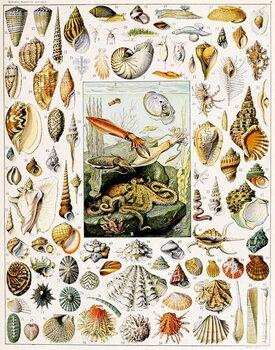 Cuadros en Lienzo Illustration of  Seashells  c.1923