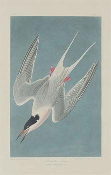 Cuadros en Lienzo Roseate Tern, 1835