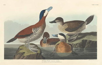 Cuadros en Lienzo Ruddy duck, 1836
