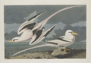 Cuadros en Lienzo Tropic Bird, 1835