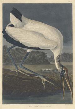 Cuadros en Lienzo Wood Ibis, 1834