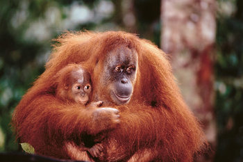 Plagát Orangutan mother baby