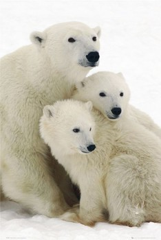Plagát Polar bear and cubs