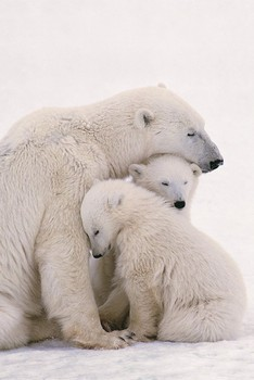 Plagát Polar bear family