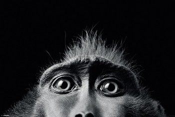 Plagát Tim Flach - monkey eyes