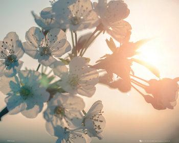 Blomstre - sol Plakat