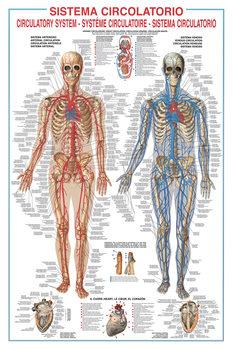 Circulatory system Plakater