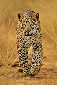 Leopard Plakat