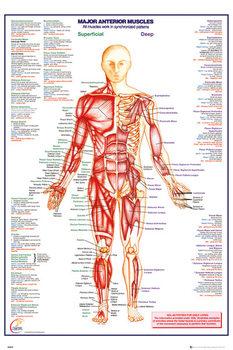 Menneskelige Krop - Major Anterior Muscles Plakat