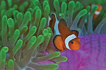 Clownfish & Anemones Poster